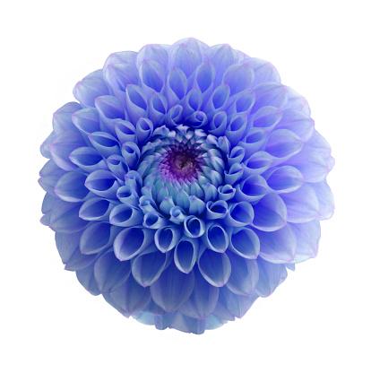 Girly「Blue dahlia flower digitally colour manipulated, on white.」:スマホ壁紙(19)