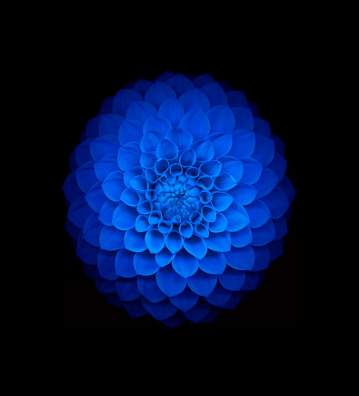 Dahlia「Blue dahlia on black background」:スマホ壁紙(15)