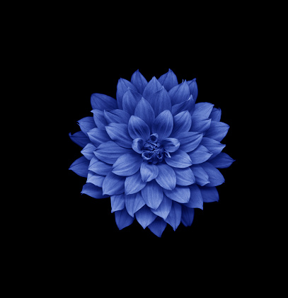 Dahlia「Blue dahlia on black background」:スマホ壁紙(14)