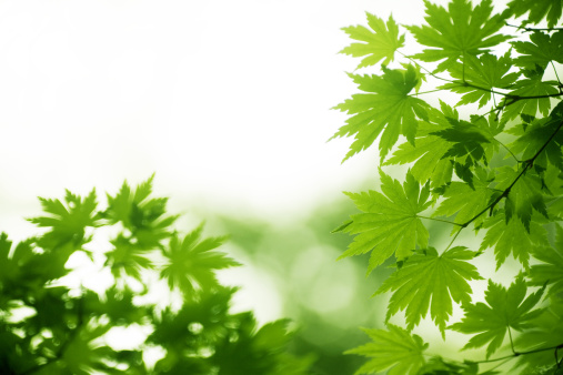 Japanese Maple「Leaves」:スマホ壁紙(7)