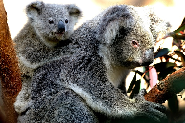 Koala「Joey Koalas Emerge From Their Mothers Pouches」:写真・画像(7)[壁紙.com]