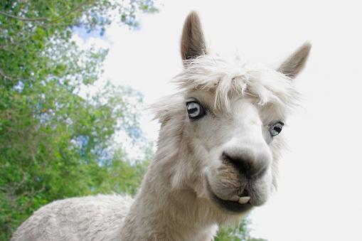 Alpaca「Alpaca with Blue Eyes」:スマホ壁紙(2)