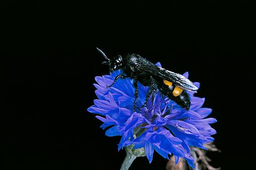 Hirta「Scolia hirta (scoliid wasp)」:スマホ壁紙(6)
