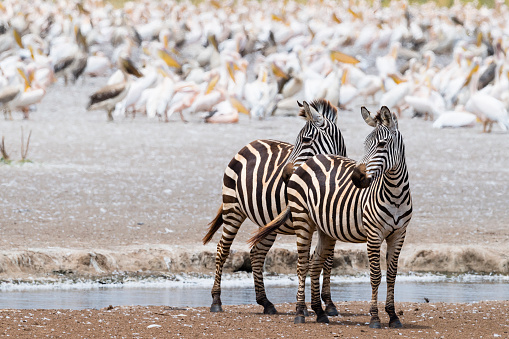 Eco Tourism「Zebras in Africa」:スマホ壁紙(10)