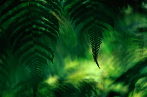 Frond「Fern (filicatae) fronds, Braulio Carrillo National Park, Costa Rica」:スマホ壁紙(9)