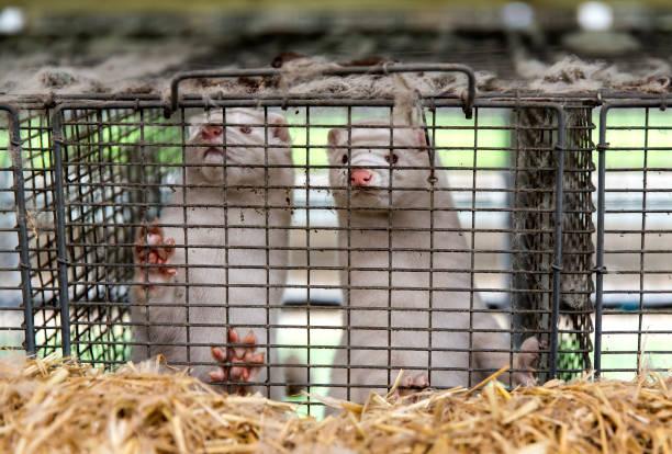 Disaster In Denmark As Covid-19 Mutation Detected On Mink Farms:ニュース(壁紙.com)