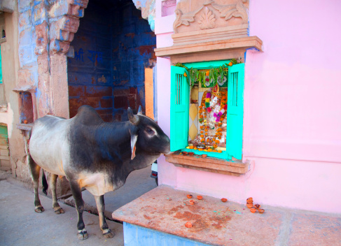 Rajasthan「A holy cow eating offerings at a Hindu shrine」:スマホ壁紙(8)