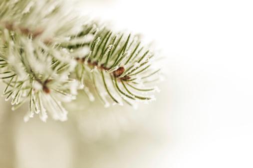 ������「Fir tree branch」:スマホ壁紙(12)