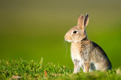 Rabbit「European rabbit」:スマホ壁紙(12)