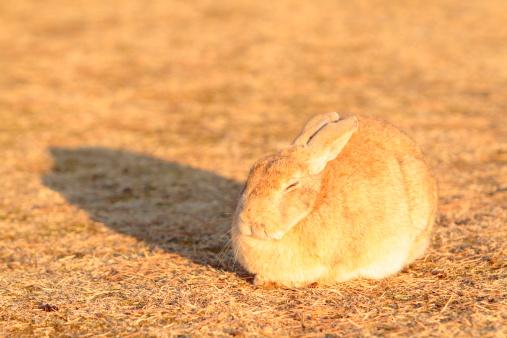 うさぎ「European Rabbit in Sunshine」:スマホ壁紙(0)