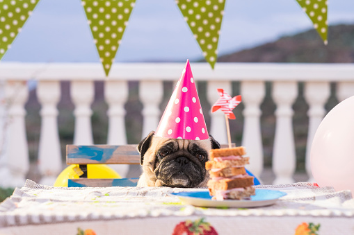 かわいい「Pug wearing party hat at table with sandwich」:スマホ壁紙(1)