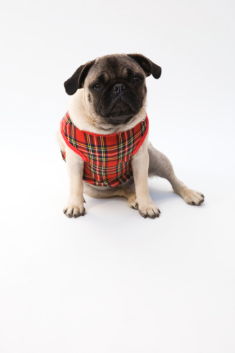 Tartan check「Pug wearing  tartan sweater」:スマホ壁紙(0)
