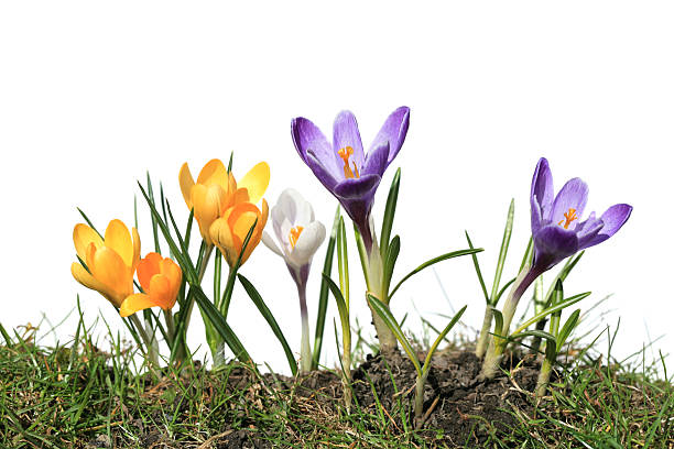 Crocus macro isolated on white and grass, Norway:スマホ壁紙(壁紙.com)