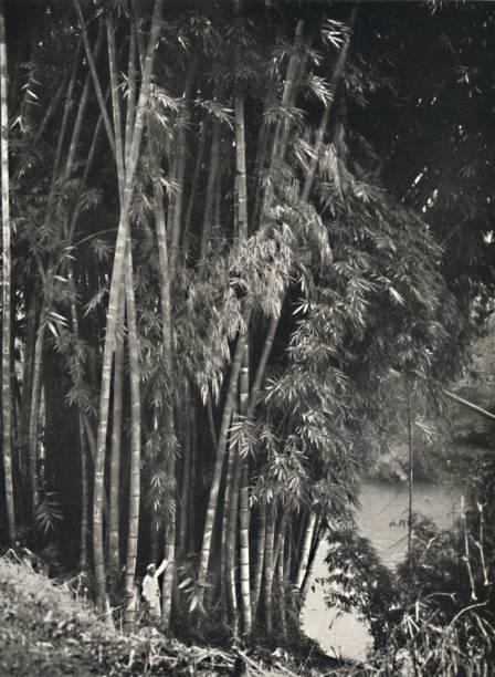 Riesenbambus (Dendrocalamus Giganteus) In Peradeniya Bei Kandy:ニュース(壁紙.com)