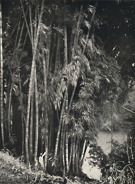 イネ科「Riesenbambus (Dendrocalamus Giganteus) In Peradeniya Bei Kandy」:写真・画像(19)[壁紙.com]