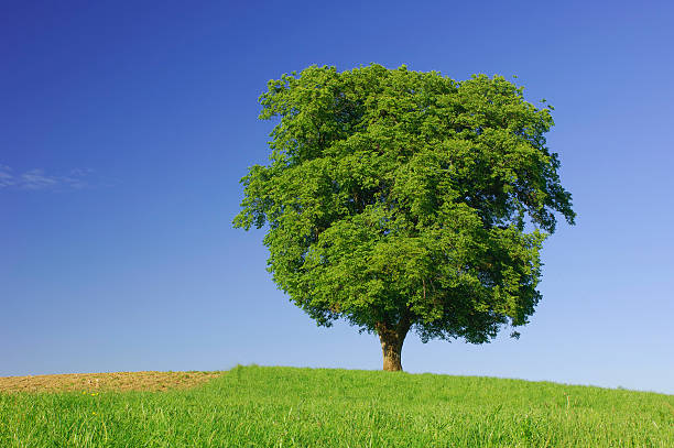 Single beech tree on a meadow in front of blue sky:スマホ壁紙(壁紙.com)
