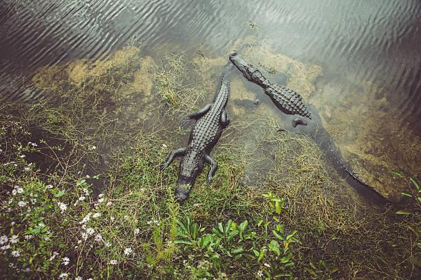 USA, Florida, Everglades, Alligators:スマホ壁紙(壁紙.com)