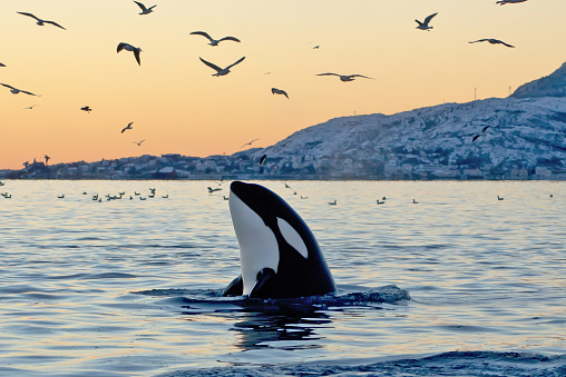 Whale「Orca emerging from the ocean at sunset with coast and birds」:スマホ壁紙(19)