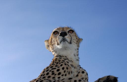 Eco Tourism「Low Angle Close-up of Wild Cheetah.」:スマホ壁紙(19)