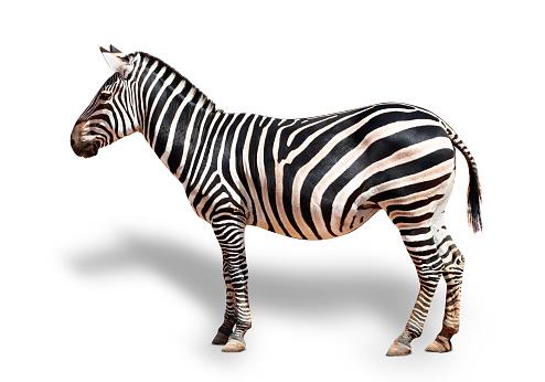 一匹「Zebra portrait」:スマホ壁紙(4)
