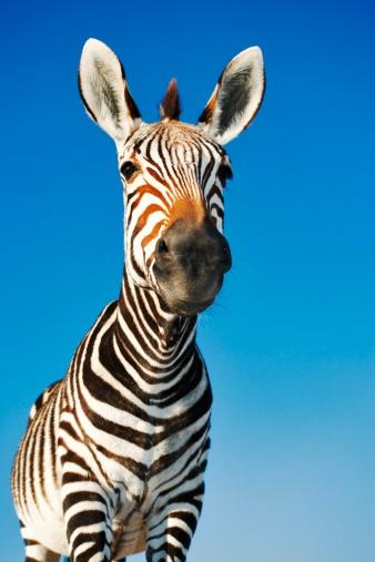 Animal Ear「Zebra (Equus burchelli) Portrait - Low Angle」:スマホ壁紙(16)