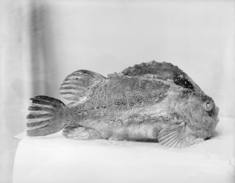 1900「Lumpfish」:スマホ壁紙(13)