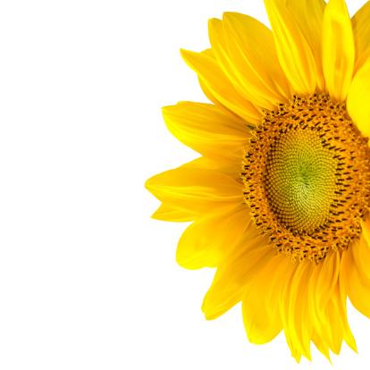ひまわり「Isolated yellow sunflower」:スマホ壁紙(5)