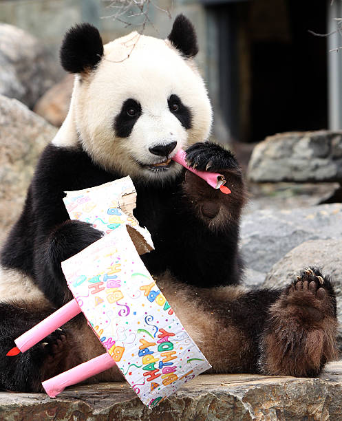 Adelaide Panda Funi Celebrates First Australian Birthday:ニュース(壁紙.com)