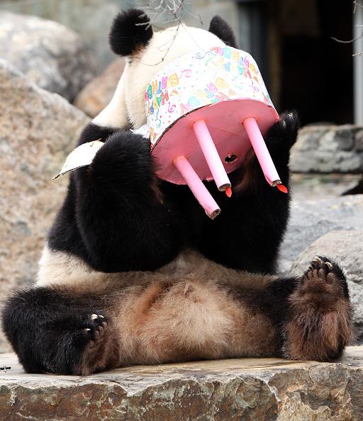 South Australia「Adelaide Panda Funi Celebrates First Australian Birthday」:写真・画像(9)[壁紙.com]