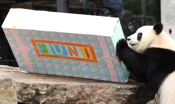 South Australia「Adelaide Panda Funi Celebrates First Australian Birthday」:写真・画像(5)[壁紙.com]