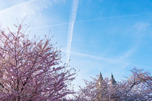 Cherry Blossom「Airplanes make vapor trails in the evening sky, which appear over the Cherry blossoms trees in Central Park New York. The San Remo Twin Tower can be seen behind Cherry blossoms trees at Central Park West Historic District in behind.」:スマホ壁紙(1)
