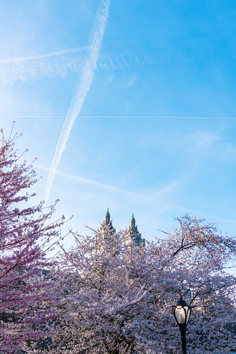 Cherry Blossom「Airplanes make vapor trails in the evening sky, which appear over the Cherry blossoms trees in Central Park New York. The San Remo Twin Tower can be seen behind Cherry blossoms trees at Central Park West Historic District in behind.」:スマホ壁紙(19)