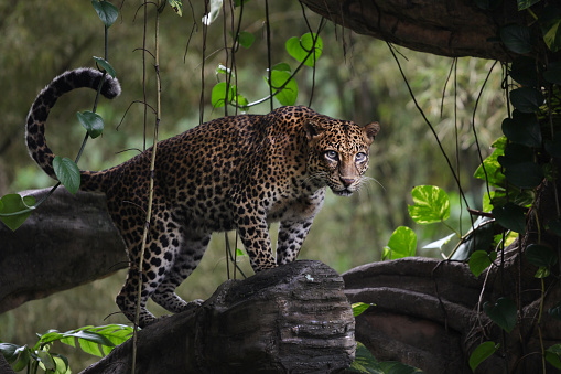 Alertness「Leopard standing in a tree, Indonesia」:スマホ壁紙(0)