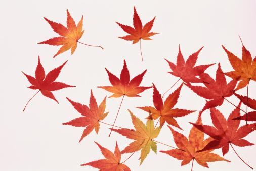 紅葉「Red maple leaves, close-up」:スマホ壁紙(9)