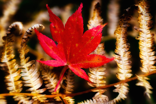 Japanese Maple「Red maple leaf on a brown fern」:スマホ壁紙(1)