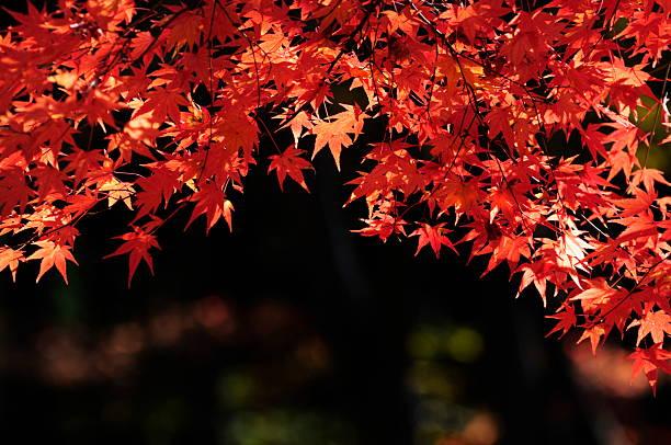 Red maple leaves:スマホ壁紙(壁紙.com)