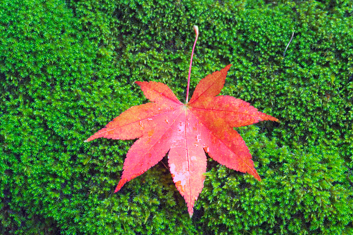 Japanese Maple「Red maple leaf on bed of moss」:スマホ壁紙(4)