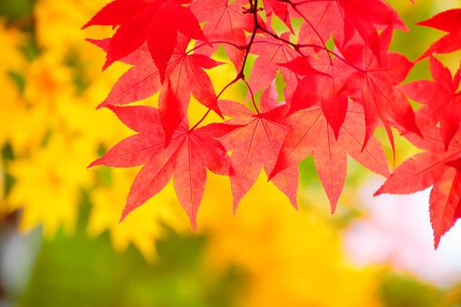 紅葉「Red maple leaves on branch」:スマホ壁紙(14)