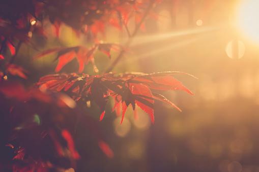 紅葉「Red maple leaves at evening sunlight」:スマホ壁紙(8)