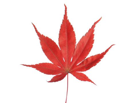 Japanese Maple「Red maple leaf on white background」:スマホ壁紙(10)