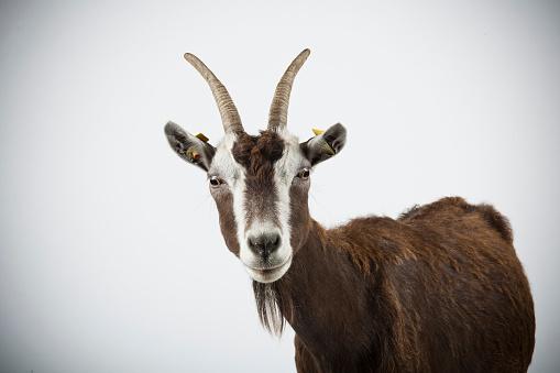 Goat「Studio portrait of Thuringian goat.」:スマホ壁紙(18)
