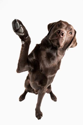 Waving - Gesture「Studio portrait of Chocolate Labrador」:スマホ壁紙(14)