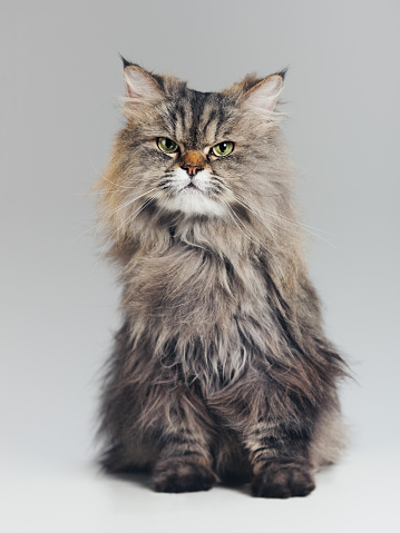 Animal Hair「Studio portrait of purebred persian cat looking at camera with attitude」:スマホ壁紙(1)