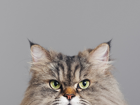 Mixed-Breed Cat「Studio portrait of purebred persian cat looking at camera with attitude」:スマホ壁紙(18)