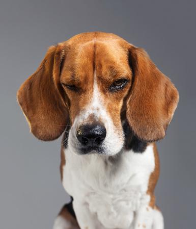 Brown Hair「Studio portrait of Beagle dog with human expression looking grumpy」:スマホ壁紙(8)