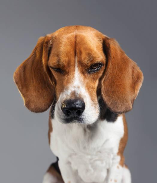 Studio portrait of Beagle dog with human expression looking grumpy:スマホ壁紙(壁紙.com)