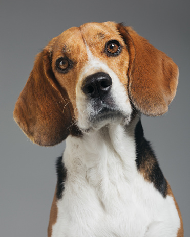 Attending「Studio portrait of Beagle dog against gray background」:スマホ壁紙(13)