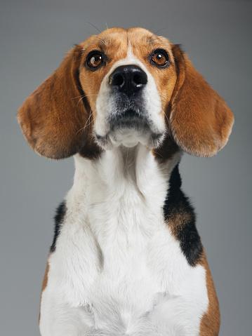 Animal Ear「Studio portrait of Beagle dog against gray background」:スマホ壁紙(10)