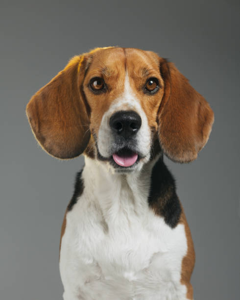 Studio portrait of Beagle dog against gray background with mouth open:スマホ壁紙(壁紙.com)
