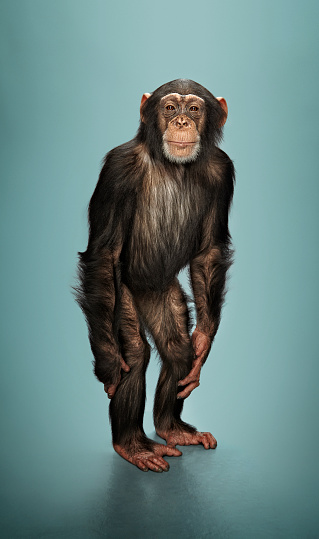 Standing「Studio portrait of chimp」:スマホ壁紙(14)